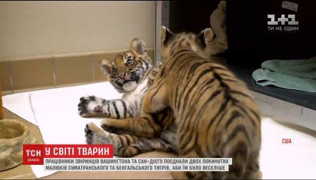 У США два звіринці поєднали покинутих малят суматранського та бенгальського тигрів