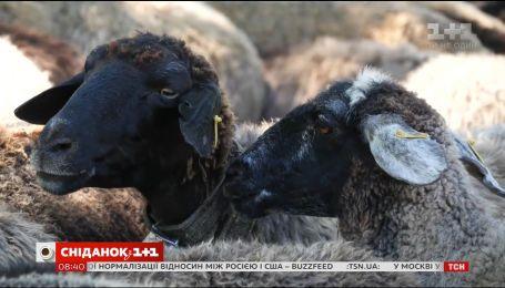 Мій путівник. Одещина - майстер-клас з доїння овець та добування меду