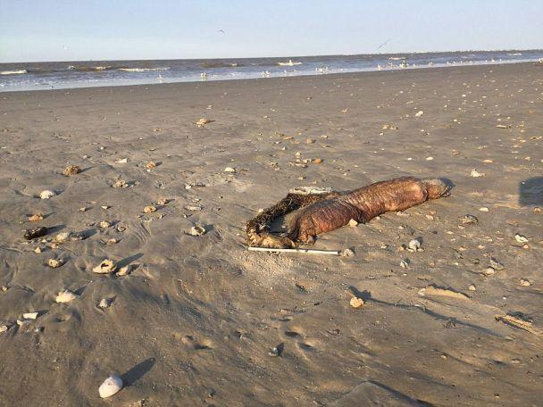 """Ураган """"Харви"""" вынес на техасский пляж таинственное существо с острыми зубами"""