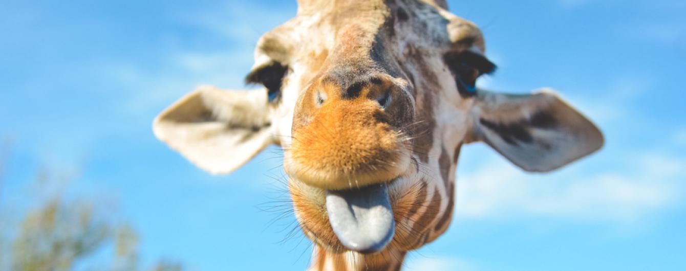 Два метра роста и маленькие рожки: на Киевщине родился жирафенок