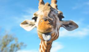 """В одеському """"Біопарку"""" відвідувачі годують тигрів та ведмедів з рук, а з жирафою роблять селфі"""