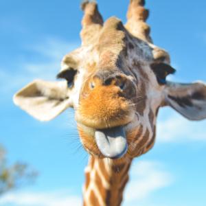 У США із зоопарку втекла жирафа і кілька годин гасала паркувальним майданчиком