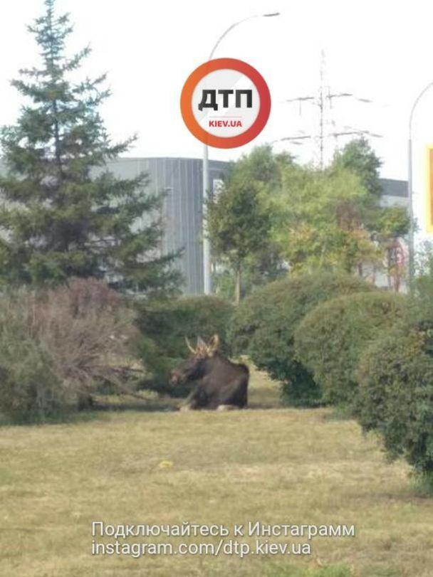 Возле Московского моста в Киеве заметили лося