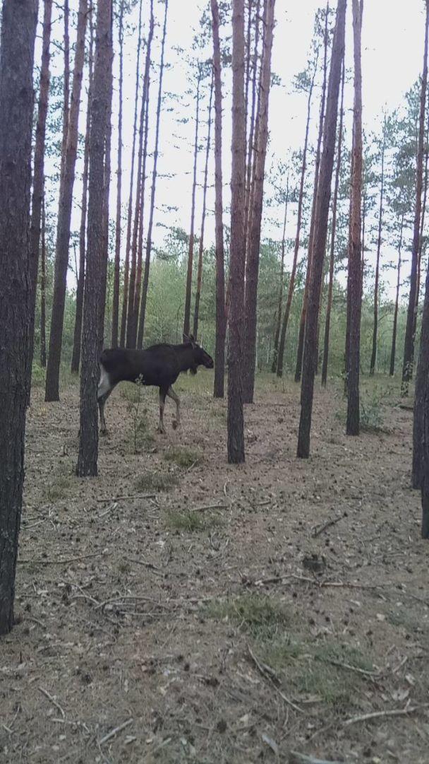 У Києві врятували великого лося, який заблукав біля Московського мосту