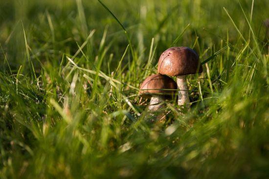 На Львівщині після споживання грибів помер пенсіонер. Ще шестеро людей - у реанімації