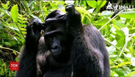 Британський мільйонер познайомив дружину із горилою