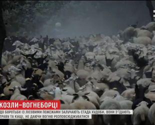 В Испании к борьбе с лесными пожарами начали привлекать стада скота
