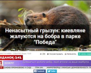Зубастый вандал: в Киеве орудует бобр, который уничтожает зеленые насаждения