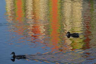 У столиці несподівано почався мор диких качок