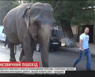 Огромный слон устроил прогулку по улицам Одессы