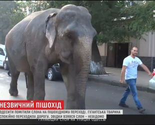 Слон, який вештався вулицями Одеси, йшов до місцевого цирку