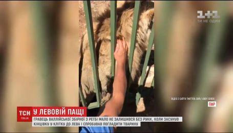 В зоопарке ЮАР лев едва не оставил без руки игрока Валлийской сборной по регби