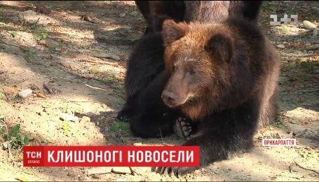 Семью бурых медведей из Херсона перевезли в Прикарпатье