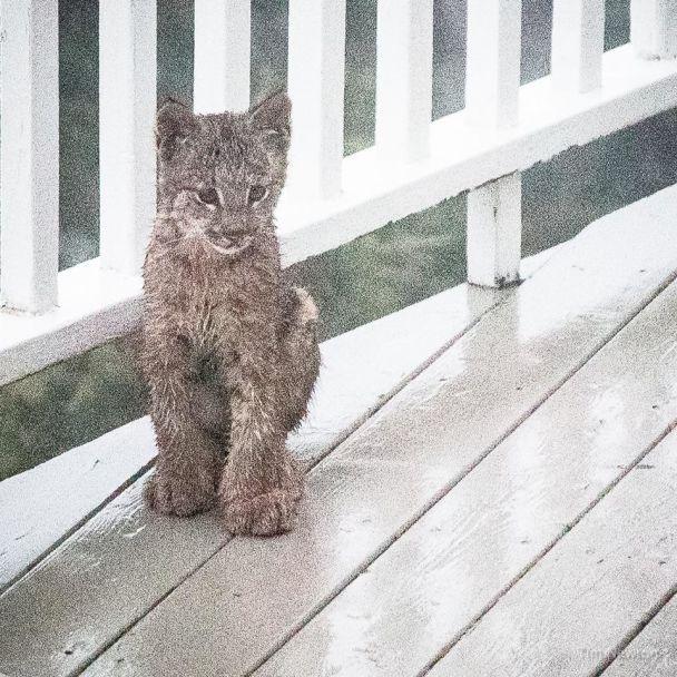 На Алясці до фотографа у гості завітала рись зі своїми кошенятами
