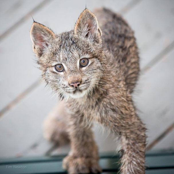 На Алясці фотограф зробив чарівні світлини рисі, яка завітала до нього у гості зі своїми кошенятами