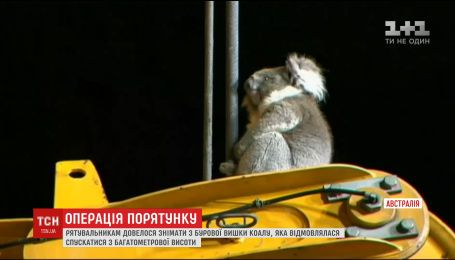 За испуганной коалой австралийским спасателям пришлось карабкаться на многометровую высоту