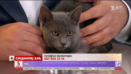 Тримісячна сіренька кішечка в пошуках домівки