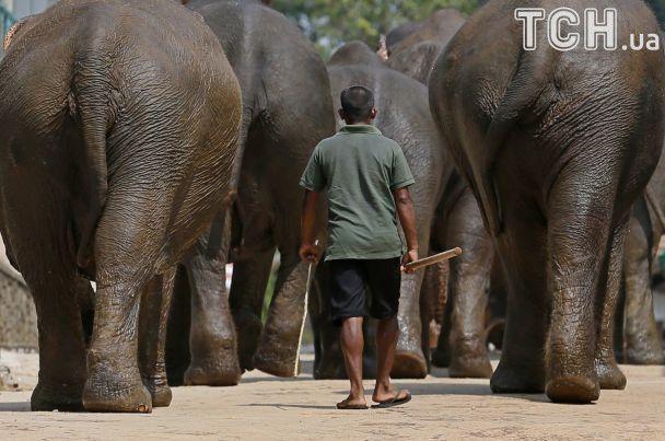 Ежедневное плавание и кормление из бутылочки: Reuters показало детдом для слонов на Шри-Ланке