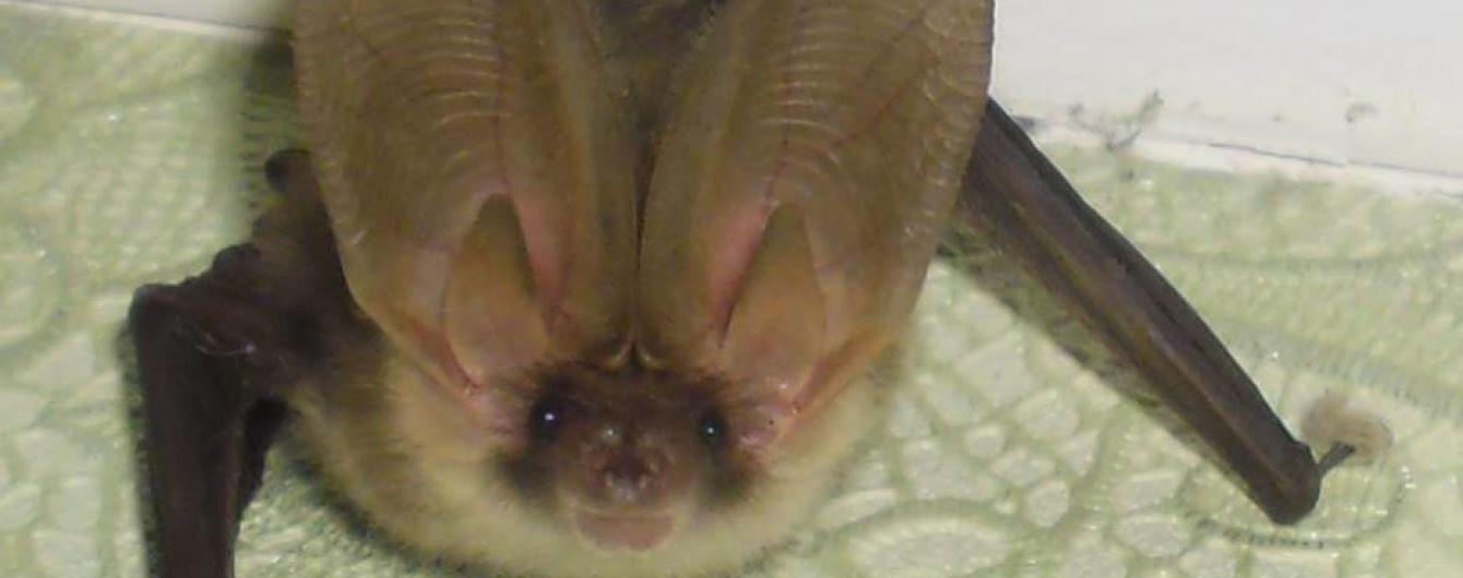 Ушан с крыльями: в Киеве нашли редкую летучую мышь в банке из-под соленых огурцов