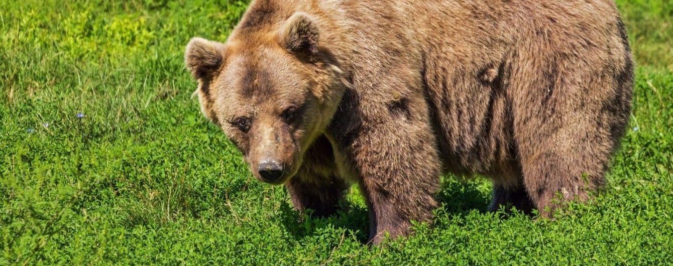 У Карпатах жорстоко вбили ведмедя: слідчі підозрюють охоронців заповідника