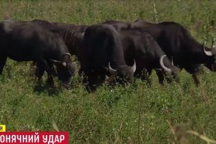 Шакали, буйволи і бобри: в Україні додалося тварин внаслідок глобального потепління