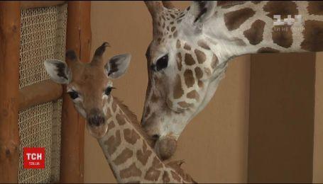 В частном зоопарке впервые показали жирафика, который недавно родился
