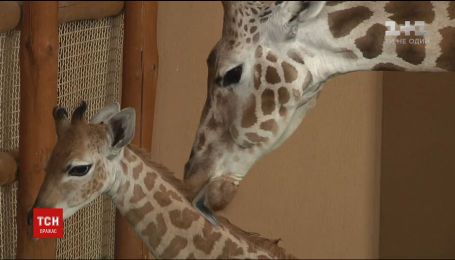 Уверенно бегает и отрастил рожки: в зоопарке под Киевом впервые показали маленького жирафенка