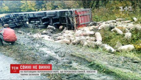 На Полтавщине съехала в кювет и перевернулась фура, перевозившая свиней