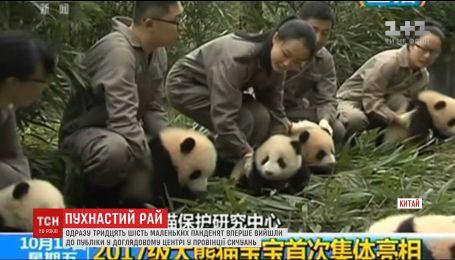В Китае впервые вышли к публике сразу 36 пандочек