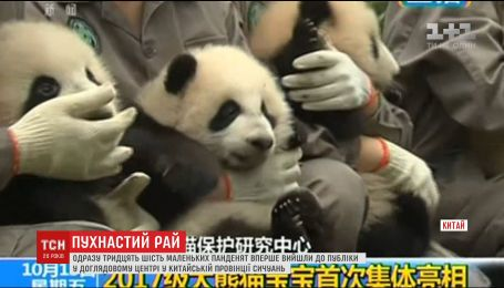 В зоопарке Китая публике показали сразу 36 маленьких пандочек