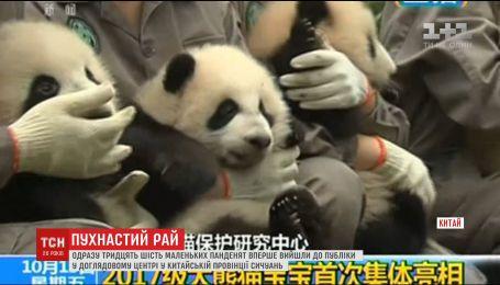 У зоопарку Китаю публіці показали одразу 36 маленьких панденят