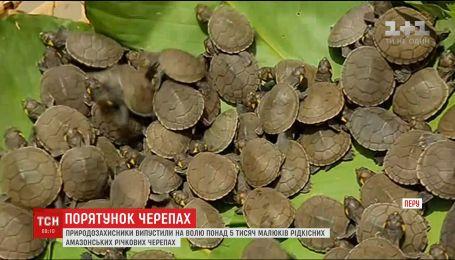 В Перу выпустили на волю тысячи малышей редких амазонских речных черепах