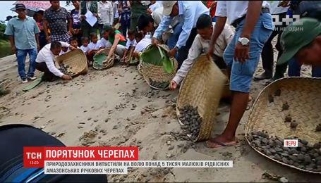 Понад 5 тисяч рідкісних амазонських річкових черепах випустили на волю природозахисники в Перу