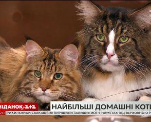 """В гостях """"Сніданка"""" владелица мейн-кунов Наталья Аникьева и ее любимцы"""
