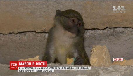 Черноморск заполонили дикие зеленые обезьянки