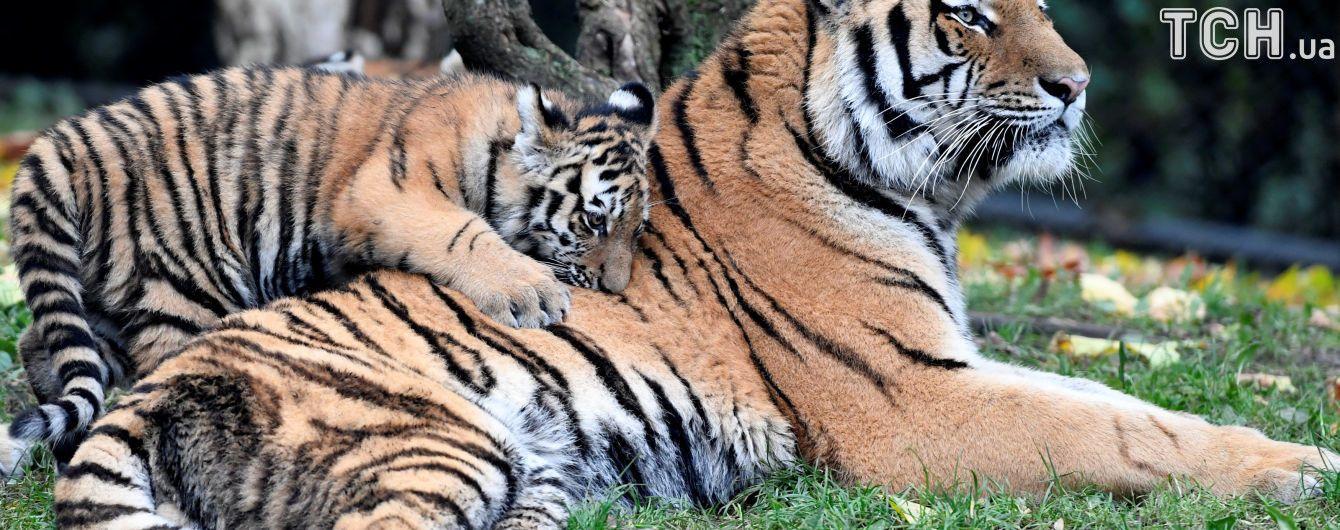 У Росії тигр напав на працівницю зоопарку