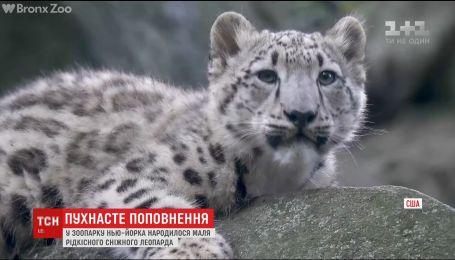 В зоопарке Нью-Йорка родился малыш снежного леопарда
