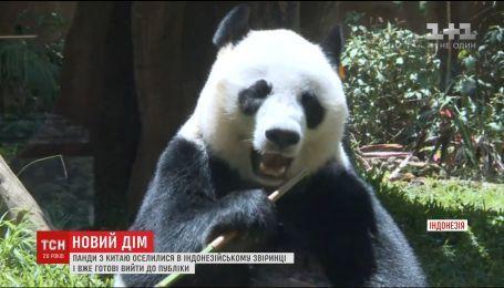 Пара чорно-білих ведмедів із Китаю оселилася в індонезійському звіринці
