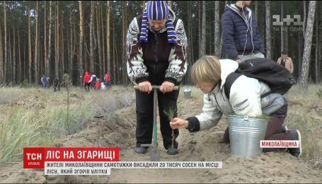 На Миколаївщині жителі висадили 20 тисяч маленьких сосен