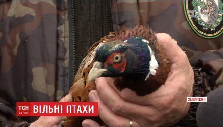 В Запоріжжі на волю випустили чотири сотні фазанів