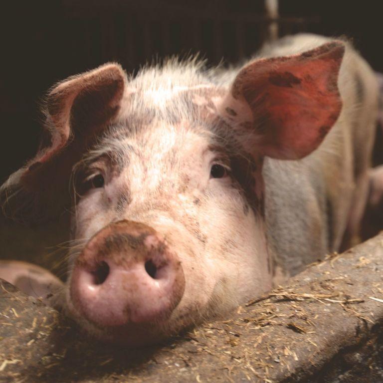 В трех областях Украины зафиксировали вспышку африканской чумы свиней