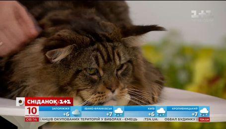 Владелица мейн-кунов рассказала, как подготовить кота к выставке