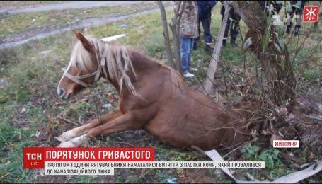 Спецоперация по спасению лошади. В Житомире животное провалилось в канализационный люк