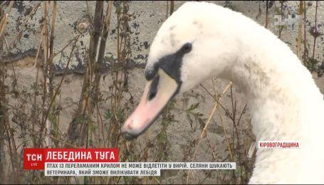 На Кіровоградщині засумував врятований селянами лебідь