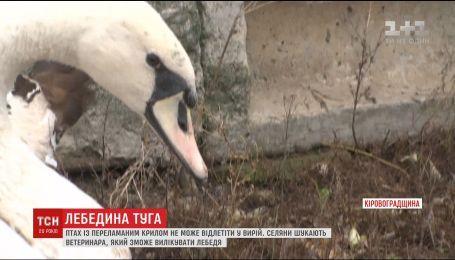 На Кіровоградщині засумував лебідь, бо не може відлетіти у вирій