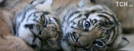 Тролінг Міноборони за скріншот з відеогри та новонароджені рідкісні тигренята. Позитивні новини тижня