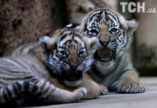 Неуверенно ходят, но грозно шипят: в Праге показали редких малайских тигрят