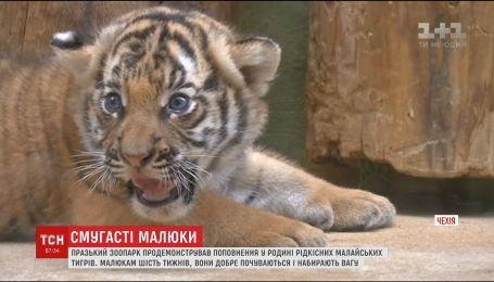 В чешском зоопарке показали новорожденных малайских тигрят
