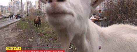 Козы посреди многоэтажек в Киеве стали причиной конфликта между соседями