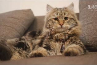 О наших любимцах. Сибирская кошка - сдержанная и ненавязчивая